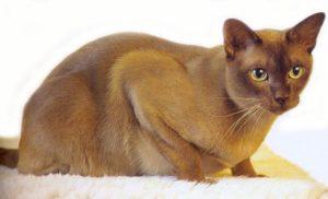 Kot Birmański Czarny Superkotpl