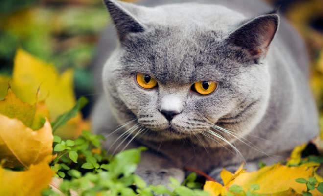 Kot Birmański Umaszczenie Superkotpl