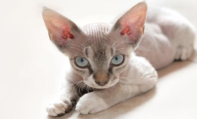 Zdjęcie znalezione na Exotichousecat.com