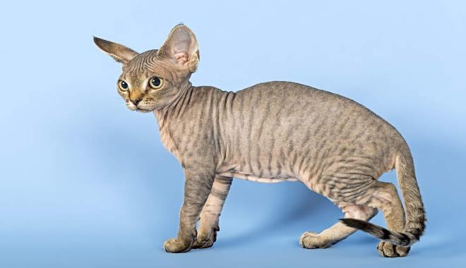Zdjęcie znalezione na Cat-breeds-encyclopedia.com