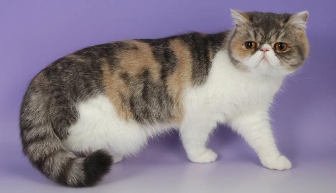 Kot Egzotyczny Krótkowłosy Superkotpl