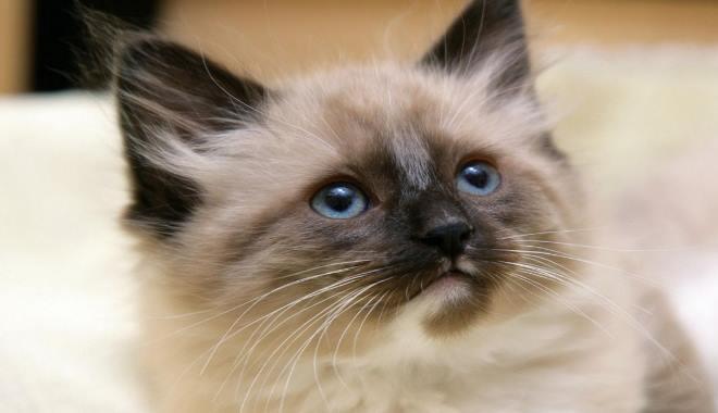Kot Himalajski Kot Rasowy Superkotpl