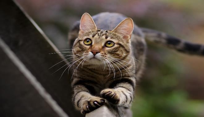 Kot Dachowiec Informacje Superkotpl