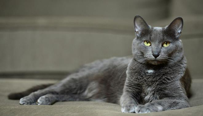 Kot Korat Cena I Popularność Superkotpl