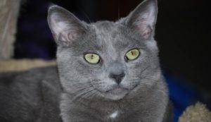 Kot Korat Waga Superkotpl