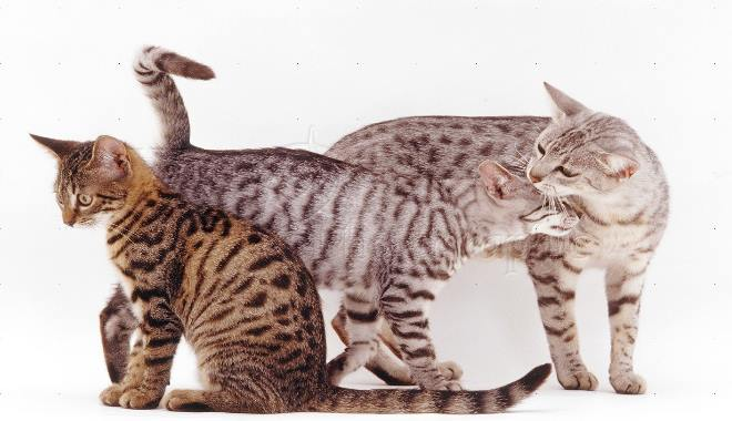 Kot Egipski Mau Szczegóły Superkotpl