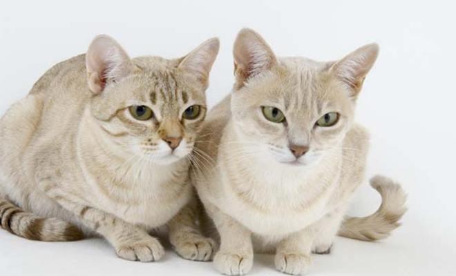 Zdjęcie znalezione na Thecatsbreeds.net