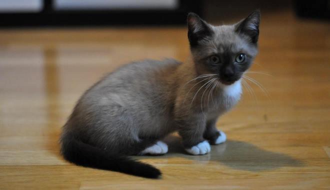 Kot Munchkin Błąd Genetyczny Superkotpl
