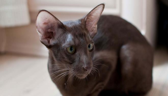 Kot Orientalny żywienie Superkotpl