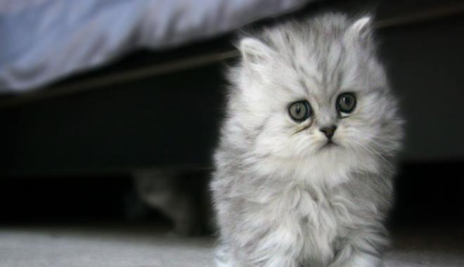 Zdjęcie znalezione na Catbreedslist.com