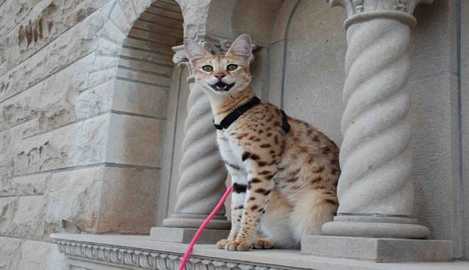 Zdjęcie znalezione na Purrfectcatbreeds.com