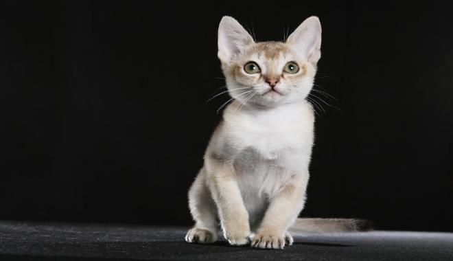 Kot Singapurski Ciekawy Charakter Superkotpl