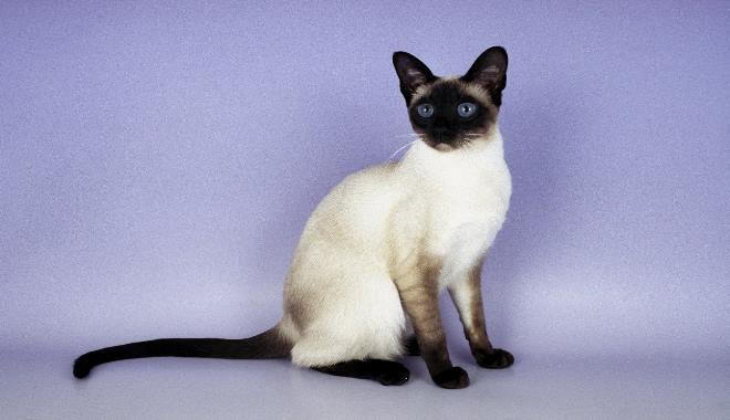 Kot Syjamski Długowłosy Superkotpl